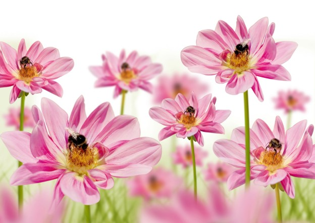 pink_flowers_with_bees_hd_picture