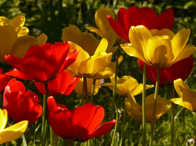 tulips_red_yellow