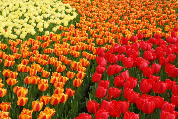 yellow_orange_and_red_tulips_189225