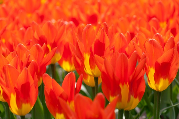 yellow_red_tulips_196138